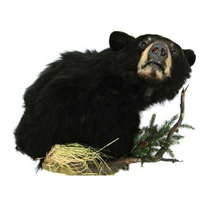 Black Bear - Shoulder Mount