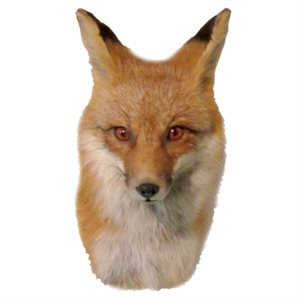 Red Fox - Head Mount